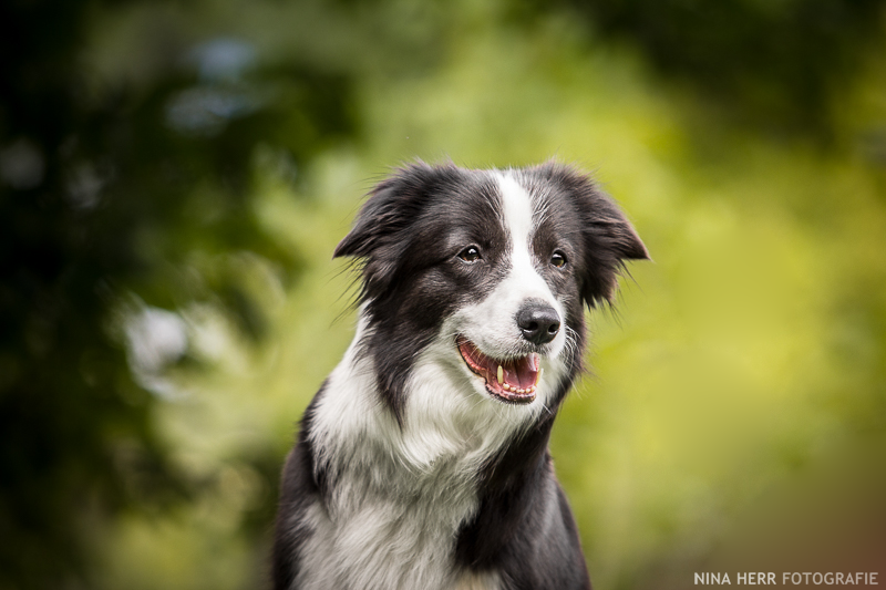 Nina Herr Fotografie Hund Border Collie