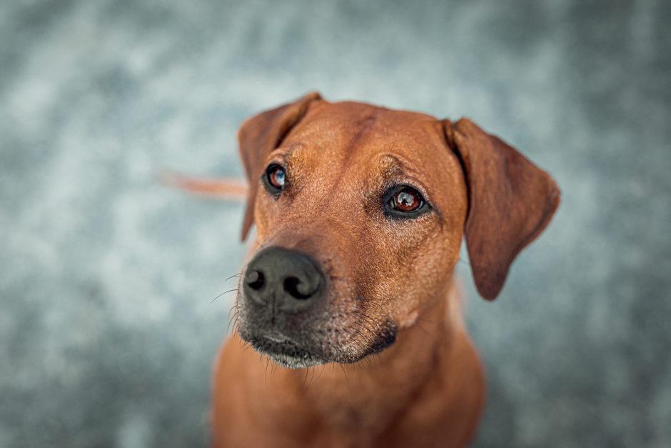 Ridgeback Action • Hunde Fotoshooting in Darmstadt